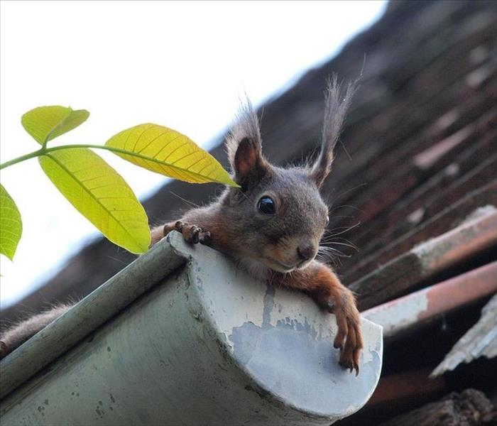 Squirrel popping its head out of a gutter on the side of a house.